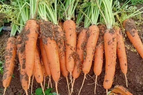 35/斤 长红胡萝卜  精品长条土货全苗胡