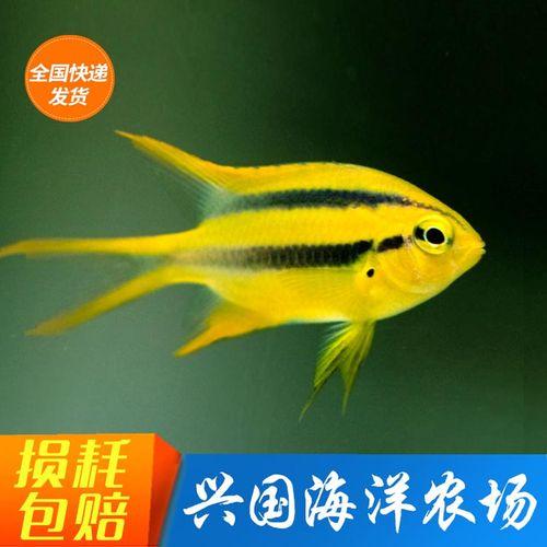 皇帝雀 金燕子魔海水鱼活体珊瑚缸鱼2-3cm小型雀雕闯