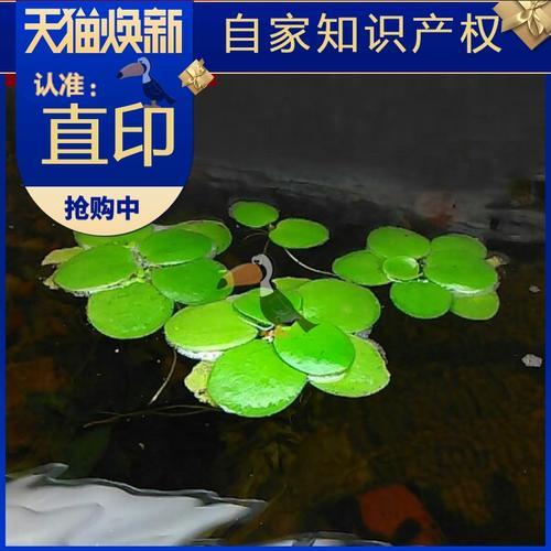 鱼草缸水草 淡水鱼缸浮萍植物一叶莲龟缸水草植物浮萍心浮草净水