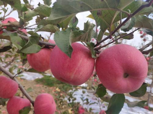 甘肃庆阳新鲜脆甜 红富士 苹果顺丰 包邮 坏果赔