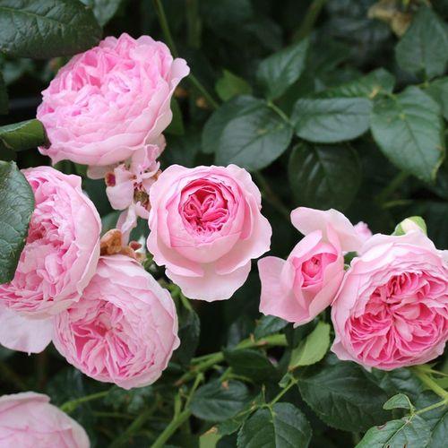 日月季花 我的心 灌木月季直立性强 攀援粉色包子月季