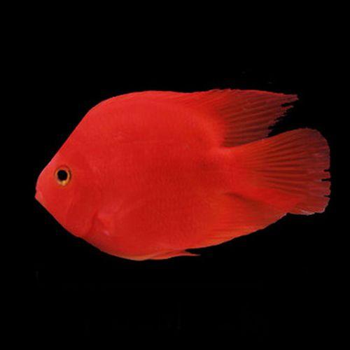 血鹦鹉活鱼发财鱼活体元宝财神招财鱼观赏鱼银龙鱼