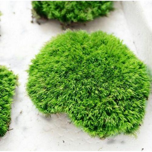 新鲜干苔藓青苔苔藓瓶苔藓植物绿植微景观大金发藓 diy植物 包装