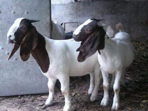 波尔山羊小羊羔黑山羊奶山羊小尾寒羊杜泊羊绵羊活羊