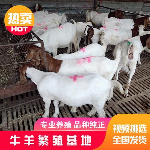 纯种波尔山羊小羊一对大型成年波尔山羊种羊孕母羊活体小羊羔活羊