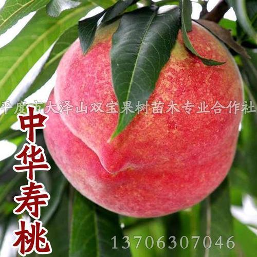 山东 嫁接特大晚熟 中华寿桃树苗 水蜜桃 北方南方种植果树新品种