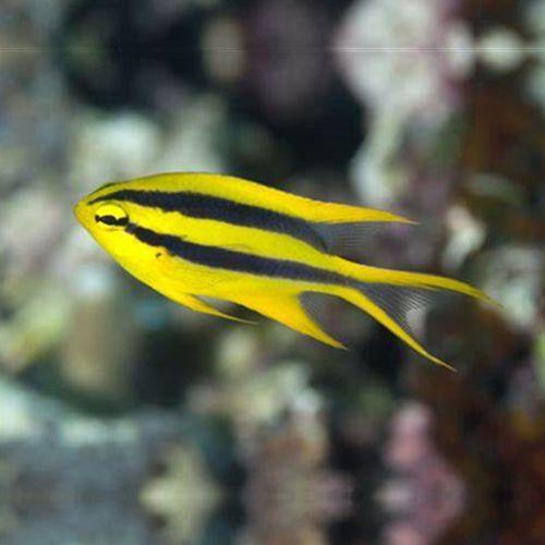 金燕子魔 皇帝雀鲷 海水观赏鱼缸 金凹牙豆娘鱼活体宠物顺丰包活