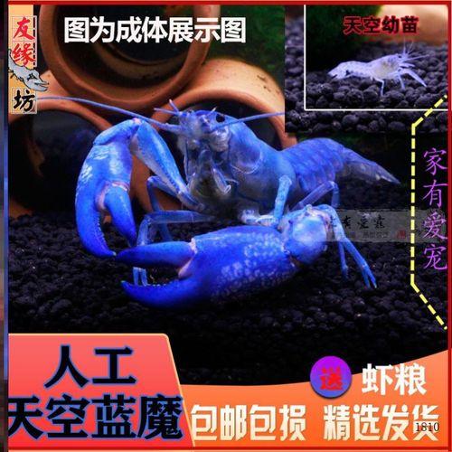 淡水龙虾家养活物螯虾淡水小龙虾苗蓝色小龙虾龙纹