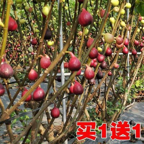 果树盆栽地栽四季种植当年结果波姬红无花果苗树