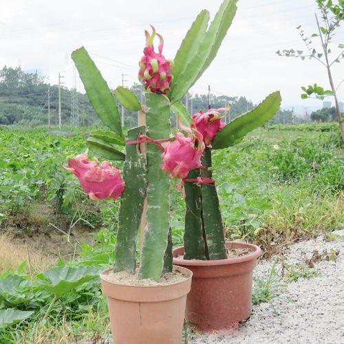 火龙果苗盆栽当年结果红心种植四季果树红肉大苗带果