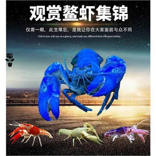 观赏鳌虾活体宠物天空蓝魔虾淡水冷水蓝色小龙虾苗龙