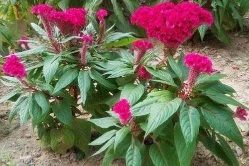8/斤  凤尾鸡冠花鸡冠花种子花期长开花不断鸡冠花四季播草花种子易