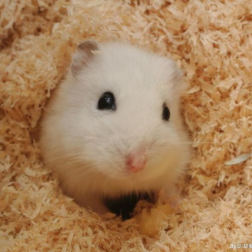 仓鼠活物打过疫苗带笼宝宝一对金丝熊奶茶熊类布丁鼠