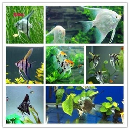 红绿灯虎皮鱼灯科鱼鱼苗热带鱼小型活体淡水斑马鱼缸
