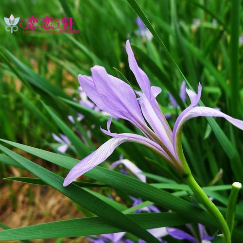 马蔺花种子 多年生密丛草本植物 简单易种花卉种子 马兰花