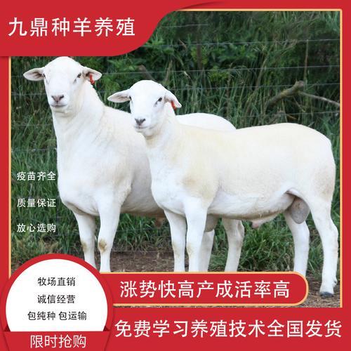 澳洲白绵羊成年种公羊孕母羊活羊澳洲白羊纯种活体小羊 活羊 羊羔