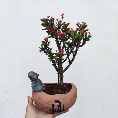 老桩小叶小花虎刺梅盆栽铁海棠苍老盆景四季开花耐热