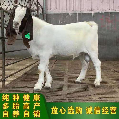 波尔山羊纯种小羊活苗活体小活羊种羊养殖羊羔成年怀孕母羊种公羊