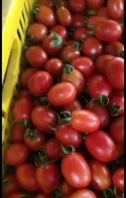 0/斤 圣女果  广西省百色市田阳区跺圆品种,樱桃小番茄,口感甜,糖度8
