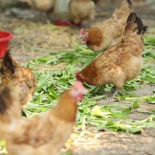 【首弘】皖西大别山农家散养两年土鸡老母鸡笨鸡月子