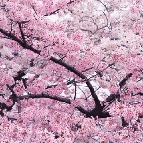 武大四季樱花树苗盆栽别墅庭院植物南方北方耐寒花卉