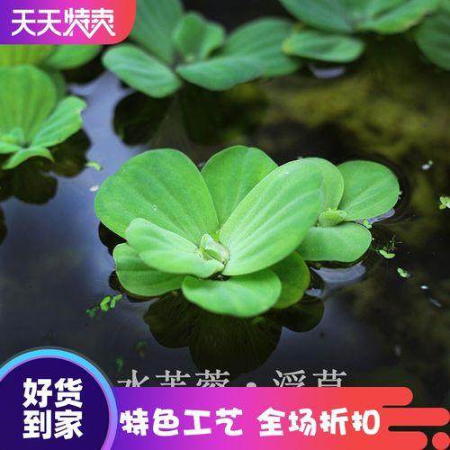 养鱼养虾水芙蓉浮草水生大叶浮萍室内庭院池塘水培植物水葫芦