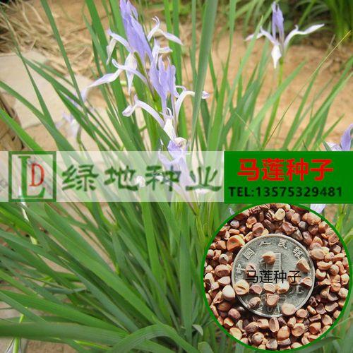 花卉种子马莲种子马蔺种子马兰花种子多年生草本园林
