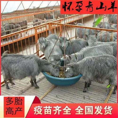 纯种青山羊活苗山东青山羊怀孕母羊活羊羊羔养殖种公羊繁殖羊