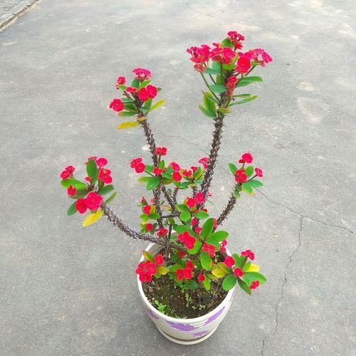 老桩小叶虎刺梅稀有品种四季开花盆栽麒麟花黄色铁