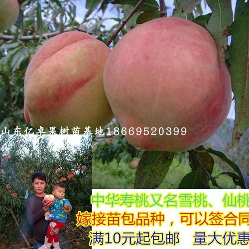 中华寿桃树苗特大晚熟品种仙桃子嫁接苗雪桃苗南北方