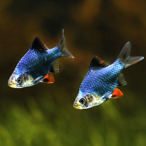 优鱼绿宝石鱼绿虎皮鱼热带观赏鱼 群游鱼小型鱼宠物鱼
